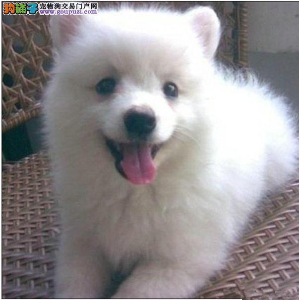 实物拍摄的渭南银狐犬找新主人狗贩子请勿扰