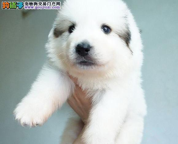 毛茸茸雪白大白熊幼犬 家养乖巧大白熊出售 质量保证