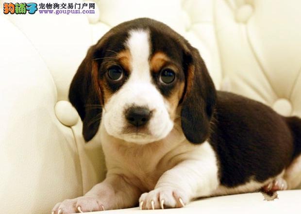 高品质比格犬幼犬 价格美丽品质优良 寻找它的主人