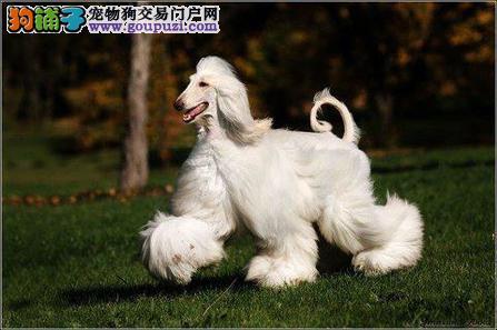 纯种阿富汗猎犬出售 品相血统一级棒 诚信经营保障