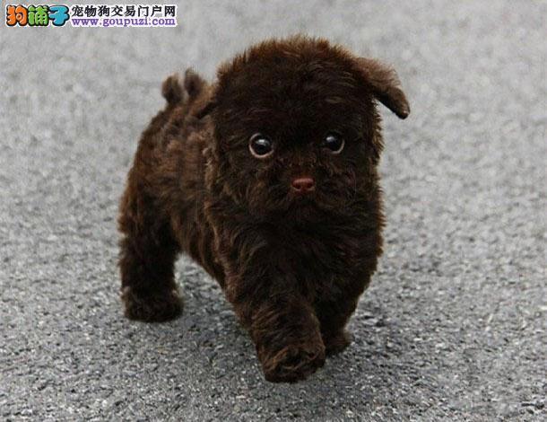实物照片泰迪犬韩国血统颜色齐全保纯种和健康