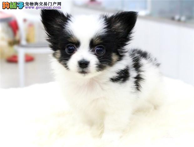 上海蝴蝶犬出售 哪里出售蝴蝶犬 蝴蝶犬价格 多少钱