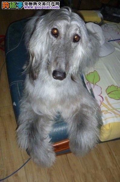 出售阿富汗猎犬专业缔造完美品质签正规合同请放心购买