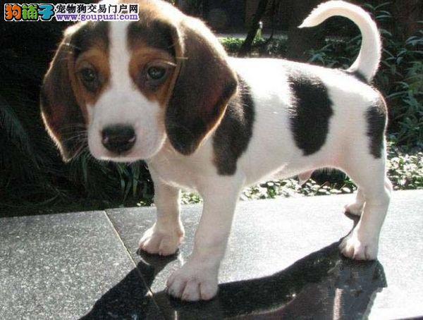直销赛级比格犬、国际血统品相好、提供养狗指导