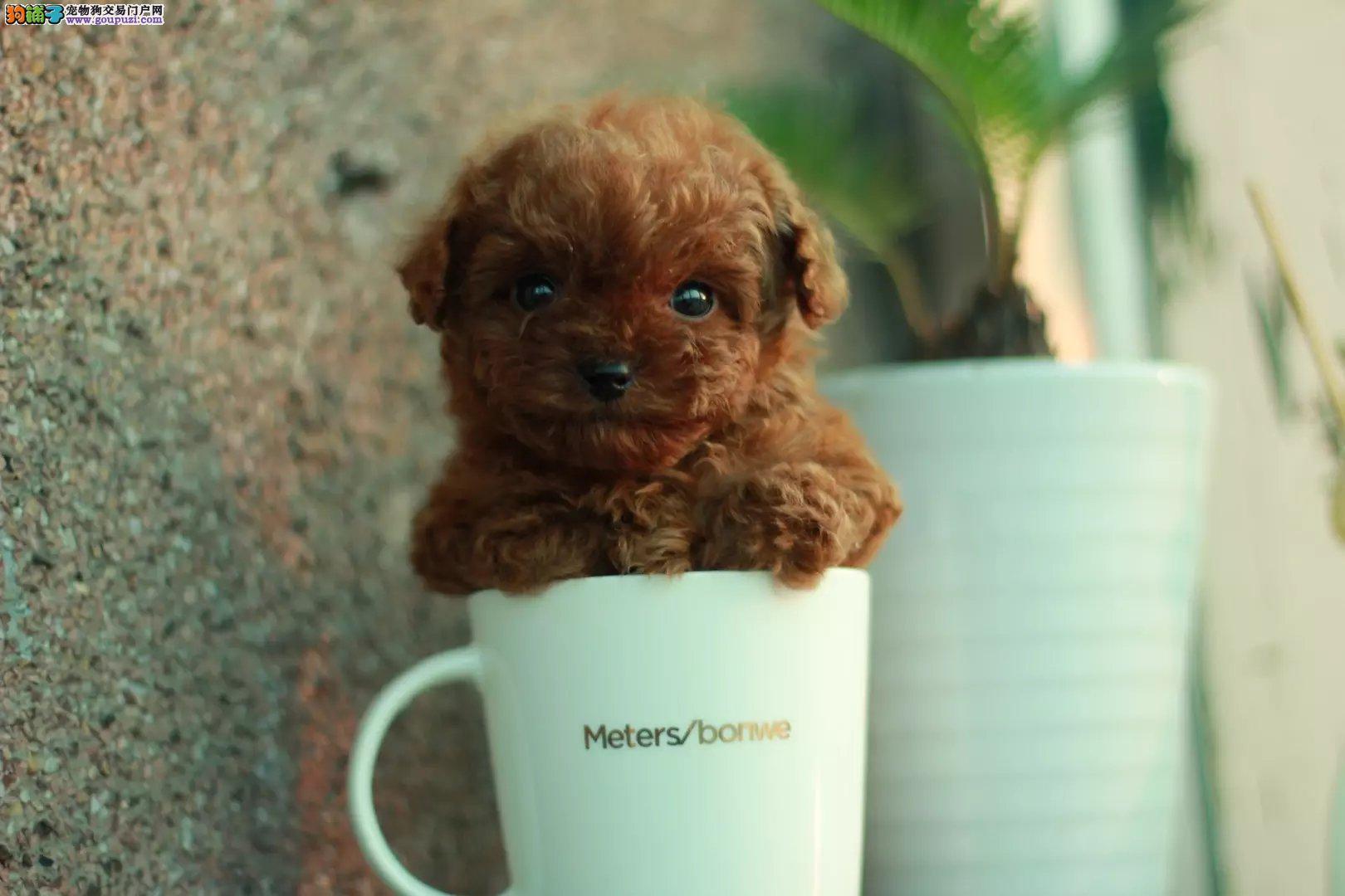 出售多种颜色纯种茶杯犬幼犬加微信送用品