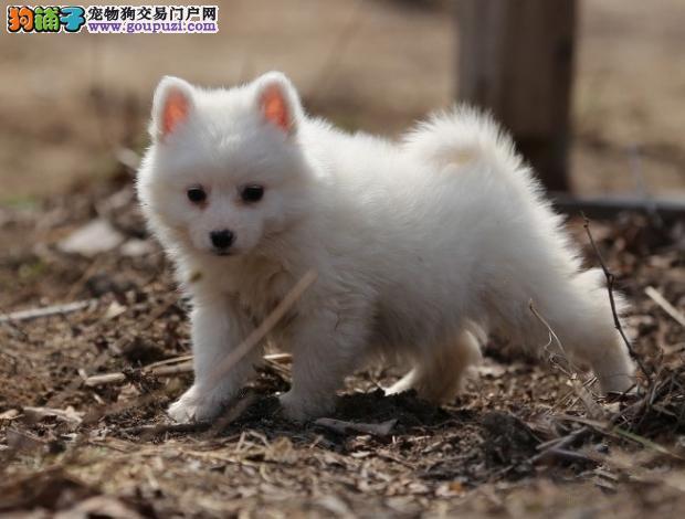 血统纯正银狐幼犬 疫苗齐全 健康质保 签协议