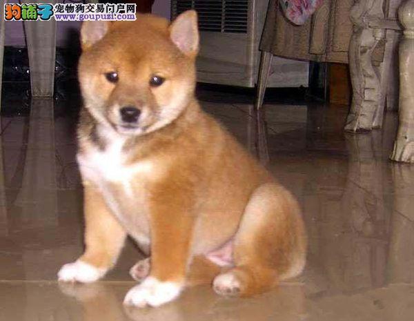 极品柴犬在这里、保障纯种和健康、十佳犬舍CKU认证