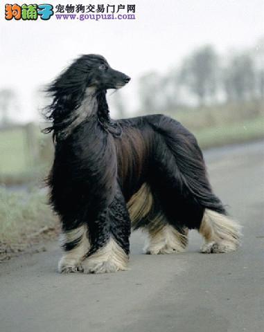 极品纯正的阿富汗猎犬幼犬热销中微信咨询看狗狗照片
