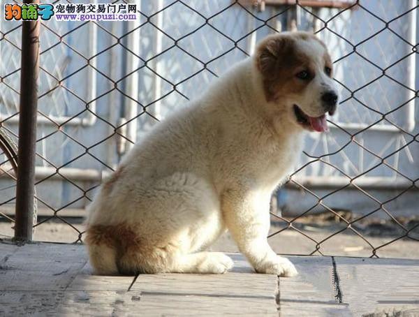 顶级优秀的纯种中亚牧羊犬热卖中赠送全套宠物用品