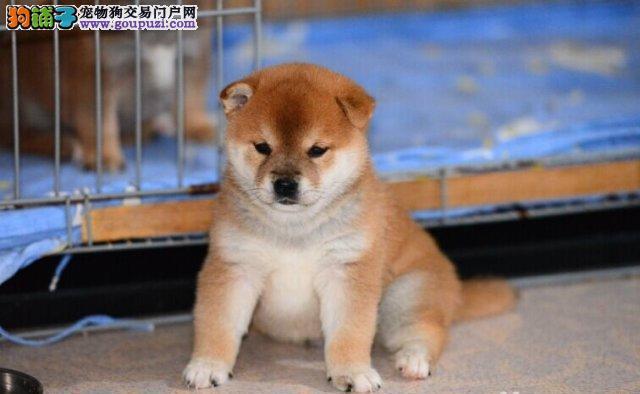 出售高品质柴犬,国际血统品相好,购买保障售后