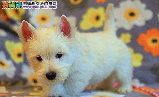 出售极品西高地幼犬 已做疫苗特价销售 欢迎前来挑选
