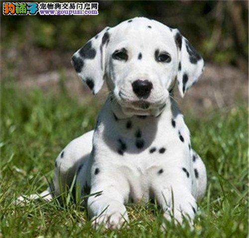 精品纯种长沙斑点狗出售质量三包签订协议包细小犬瘟热