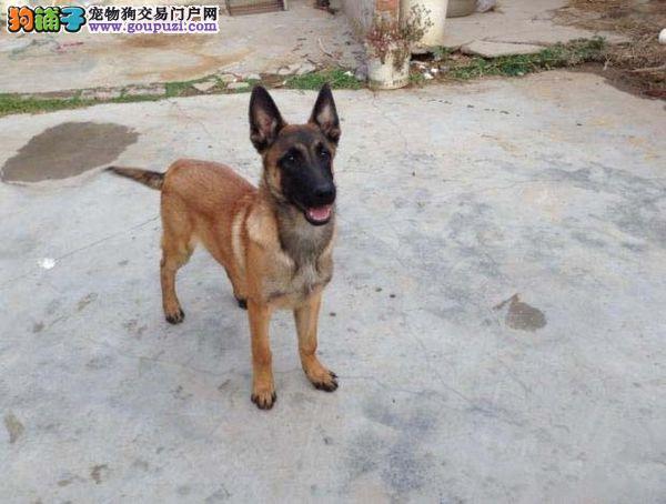大同专业繁殖马犬幼犬出售极品黑马红马多只可选疫苗齐