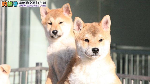 沈阳哪里有柴犬出售 纯种健康的柴犬哪里有多少钱