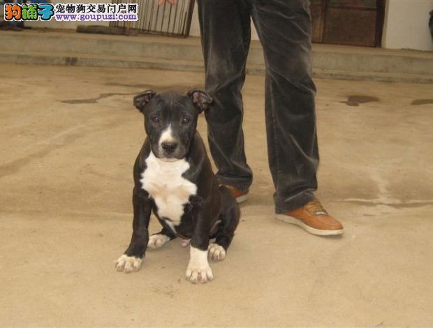 自家养殖纯种比特犬低价出售质保三年支持送货上门