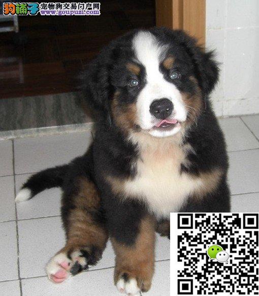 品质伯恩山幼犬出售 疫苗做完 质量三包终身免费售后