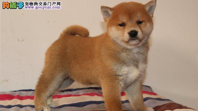 出售纯种柴犬,国际血统品质保障,全国送货上门