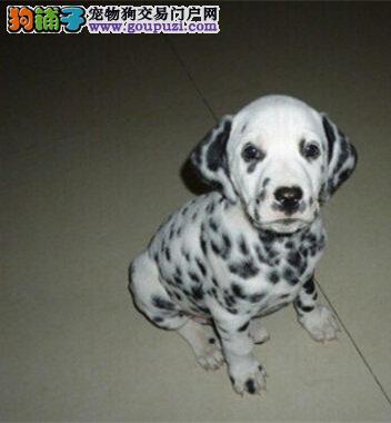 赛级品相铜川斑点狗幼犬低价出售国际血统认证