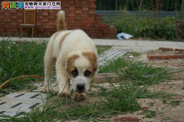 公母均有的中亚牧羊犬找爸爸妈妈欢迎您的指导