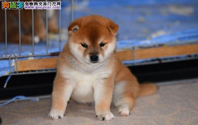 精品柴犬幼犬一对一视频服务买着放心可直接微信视频挑选