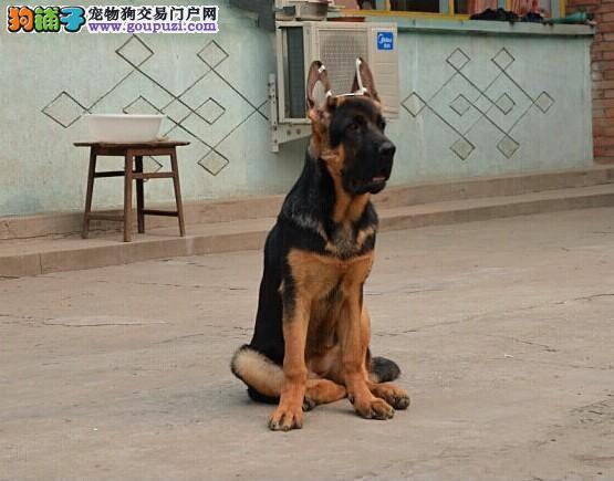 今天付款包邮、德国牧羊犬、锤系、东德、西德血统幼犬