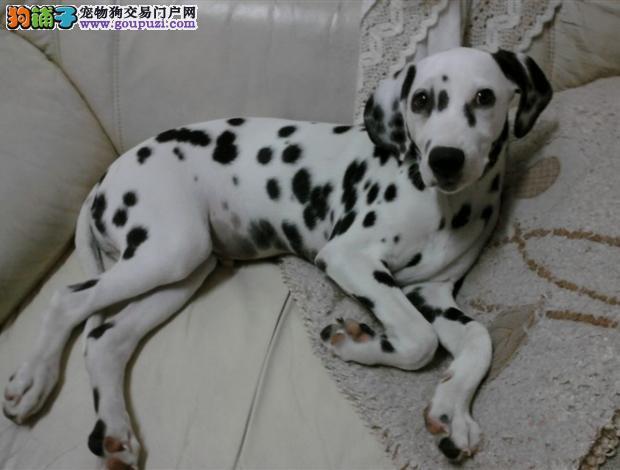顶级斑点狗宝宝,CKU认证犬舍,签订正规合同