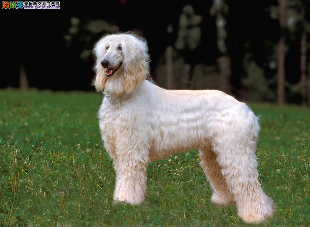 出售极品阿富汗猎犬幼犬完美品相质保三年支持送货上门