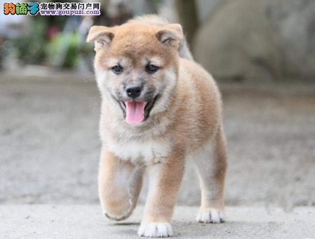 西安养殖场直销完美品相的柴犬签订协议包细小犬瘟热