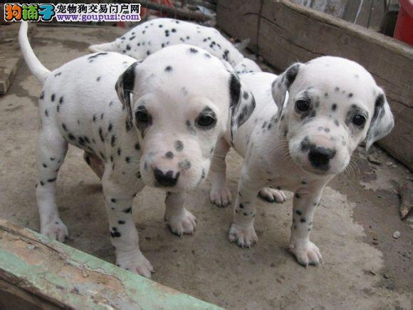 顶级优秀的纯种长沙斑点狗热销中欢迎上门选购价格公道