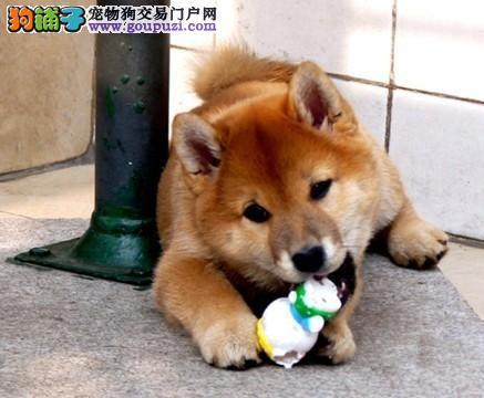 颜色全品相佳的柴犬纯种宝宝热卖中请您放心选购