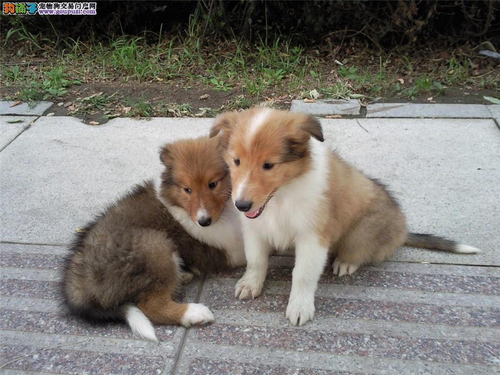 苏格兰牧羊犬 CKU认证血统 选择我们就是选择信赖
