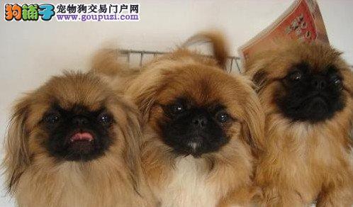重庆哪里有卖京巴犬 重庆精品京巴幼犬基地出售