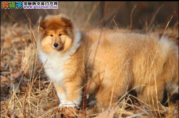 西安最大犬舍出售多种颜色喜乐蒂专业繁殖中心值得信赖