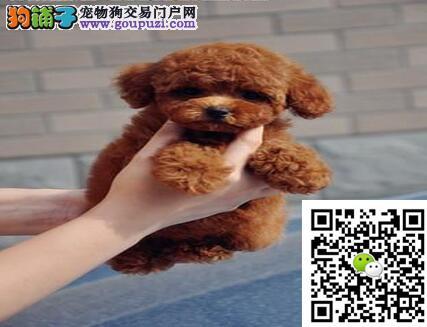 茶杯迷你玩具泰迪宝宝低价热销 特价销售签订协议