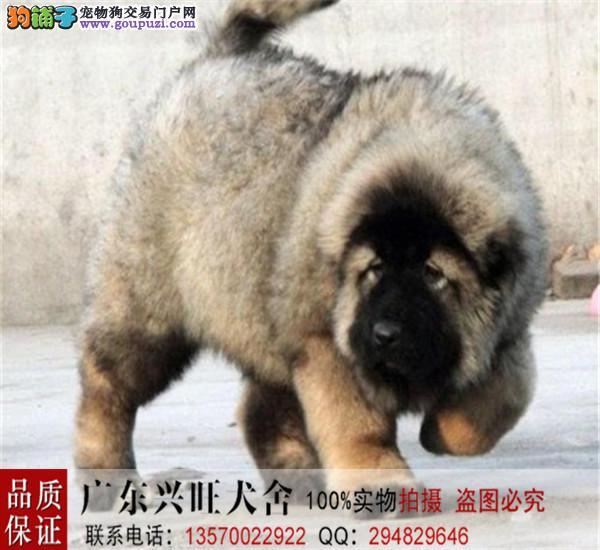 诚信交易、俄版高加索、健康终身保障、签协议送狗用品