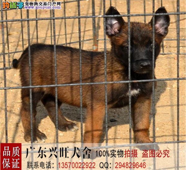 军犬警犬 、最可爱的朋友 、比利时纯种血统马犬热销中