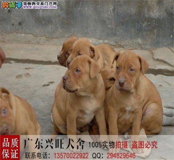 专业繁殖高品质大骨架比特犬 专职斗狗繁殖十余年