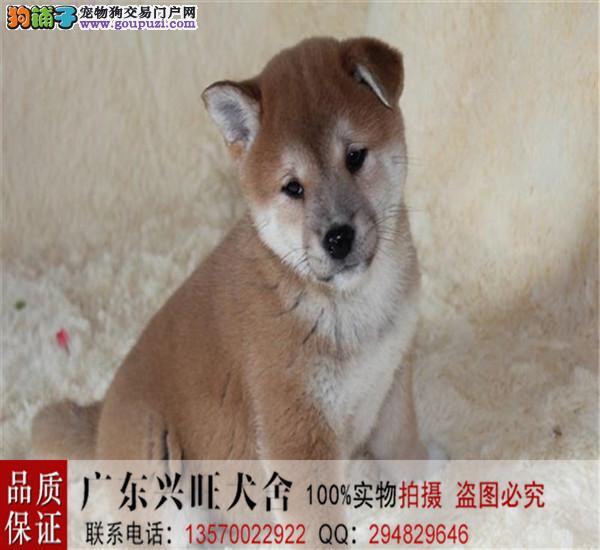 高品质柴犬幼犬质保出售 疫苗齐全 可随时上门挑选