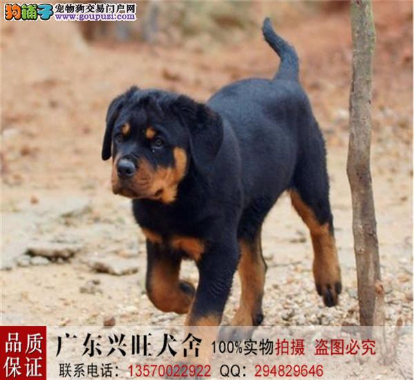 工作犬 防暴犬 大型护卫犬 这就是罗威纳,血统犬出售