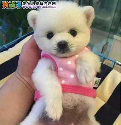 广东最大专业繁殖博美基地出售健康纯种球体博美犬