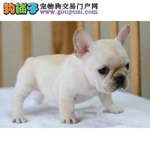 赛级法国斗牛犬幼犬,保证品质一流,可送货上门