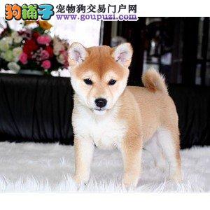 深圳狗场直销纯种健康的柴犬