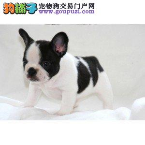 福州自家繁殖法国斗牛犬出售公母都有真实照片包纯