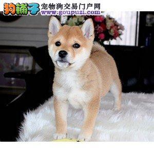 纯种柴犬幼犬 可办理血统证书 喜欢加微信