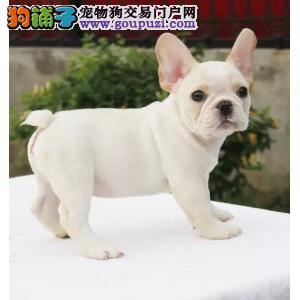 热销多只优秀的纯种郑州法国斗牛犬专业繁殖中心值得信赖