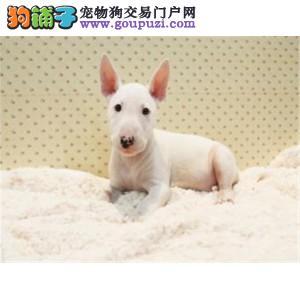 上海养殖基地出售纯种牛头梗犬 包纯种健康的
