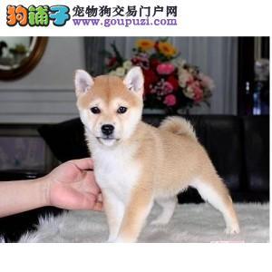 明星最爱日本柴犬出售