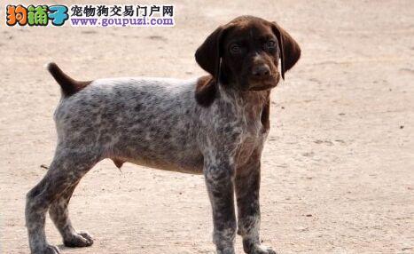 赛级波音达犬出售 波音达犬多少钱一只_签订质保协议