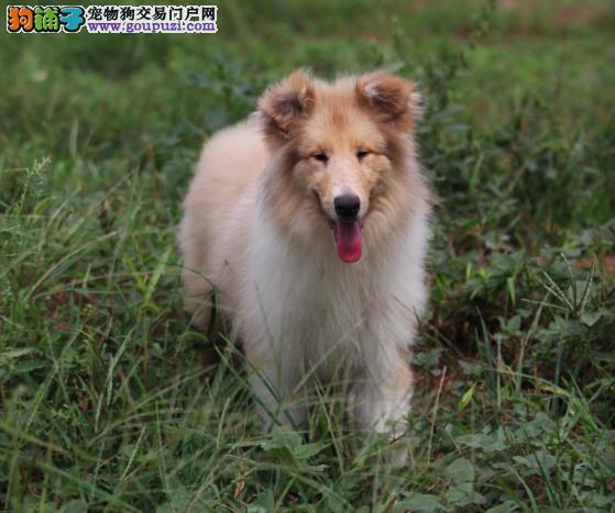 赛级血系纯种苏格兰牧羊犬美丽聪明品相极佳健康