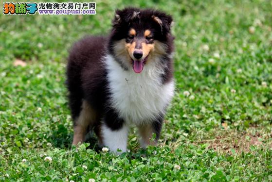 出售犬场繁殖的苏牧宝宝,黄白花的,通勃尾,健康漂亮